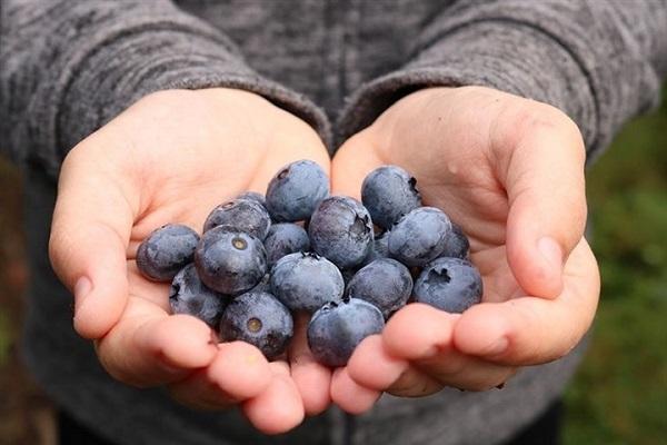 Vỏ quả việt quất chứa hàm lượng dinh dưỡng cao và tốt cho sức khỏe